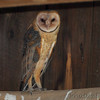 "Owls: <span style=""color:#fff; background:#333;"">Barn Owl</span>  <br> Manitz Conservation Area <br> <a href=""/Birds/2010-Birding/Birding-2010-June/2010-06-16-SE-Mo/i-g6HWFD5"">2010-06-16</a> <br><br> My 1st Missouri photo, species #208 <br> 2008-08-19 08:36:32 <br><div class=""noshow""> See #208 in photo gallery  <a href=""/Birds/2008-Birding/Birding-2008-August/2008-08-19-Maintz-Otter-Slough/i-pGzGKSP""> here</a> </div>"