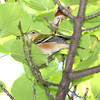 "Wood-Warblers: <span style=""color:#fff; background:#333;"">Bay-breasted Warbler </span> <br><span class=""showLBtitle"">                                                                                         </span> City of Bridgeton <br> St. Louis County, Missouri <br> <a href=""/Birds/2009-Birding/Birding-2009-September/2009-09-Yardbirds/i-x24wsSx"">2009-09-25</a> <br> <br> My 1st Missouri photo, species #265 <br> 2009-09-25 10:15:03 <br> <div class=""noshow"">See #265 in photo gallery <a href=""/Birds/2009-Birding/Birding-2009-September/2009-09-Yardbirds/i-KCWQxw6"">here</a></div>"