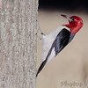 "Woodpeckers: <span style=""color:#fff; background:#333;"">Red-headed Woodpecker</span>  <br> Maramec Spring Park <br> <a href=""/Birds/2007-Birding/Birding-2007-June-July/2007-07-23-Maramec-Spring-Park/i-VBvhtB6"">2007-07-23</a> <br><br> My 1st Missouri photo, species #116 <br> 2006-06-03 11:55:39 <br><div class=""noshow"">  See #116 in photo gallery  <a href=""/Birds/2006-Birding/Birding-2006-June/2006-06-03-Weldon-Springs-Katy/i-SrSLQBC""> here</a> </div>"