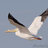 "Shorebirds: <span style=""color:#fff; background:#333;"">American White Pelican </span> <br><span class=""showLBtitle"">                                                                                         </span> Riverlands Migratory Bird Sanctuary <br> St. Charles County, Missouri <br> <a href=""/Birds/2007-Birding/Birding-2007-March/2007-03-05-Riverlands/i-cfSwjcw"">2007-03-05</a> <br> <br> My 1st Missouri photo, species #30 <br> 2005-08-20 15:13:59 <br> <div class=""noshow"">See #30 in photo gallery <a href=""/Birds/Shore-Birds/i-hGJj9Br"">here</a></div>"