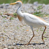 "Marsh Birds: Egrets: <span style=""color:#fff; background:#333;"">Cattle Egret</span>  <br><span class=""showLBtitle"">                                                                                         </span> Columbia Bottom Conservation Area <br> St. Louis County, Missouri <br> <a href=""/Birds/2008-Birding/Birding-2008-June/2008-06-07-09-10-Multi-areas/i-XGvbsrB"">2008-06-07</a> <br> <br> My 1st Missouri photo, species #191  <br> 2008-06-06 11:53:38 <br> <div class=""noshow"">See #191 in photo gallery <a href=""/Birds/2008-Birding/Birding-2008-June/2008-06-06-Bridgeton-Bottoms/i-nsg94Ch"">here</a></div>"