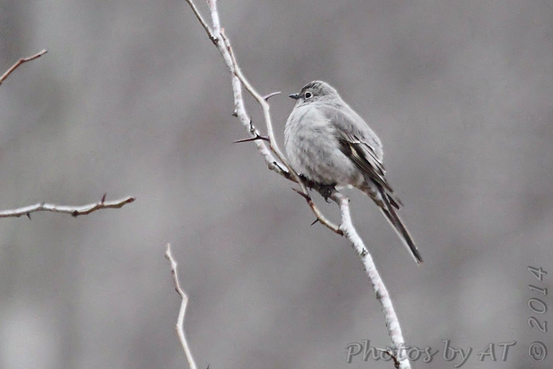 """Thrushes: <span style=""""color:#fff; background:#333;"""">Townsend's Solitaire  </span> <br><span class=""""showLBtitle"""">                                             </span> Young Conservation Area <br> Jefferson County, Missouri <br> <a href=""""/Birds/2014-Birding/Birding-2014-February/2014-02-02-Young-Consv-Area/i-FXmTtZm"""">2014-02-02</a> <br> <br> My 1st Missouri photo, species #330 <br> <span style=""""color:#fff"""">***  4th record outside of northwest MO  ***</span> <br> 2014-02-02 14:51:43 <br> <div class=""""noshow"""">See #330 in photo gallery <a href=""""/Birds/2014-Birding/Birding-2014-February/2014-02-02-Young-Consv-Area/i-mVp3cFZ"""">here</a></div>"""