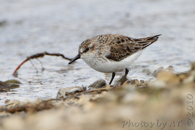 """Mudflats: Sandpipers: <span style=""""color:#fff; background:#333;"""">Semipalmated Sandpiper</span>  <br> Confluence Road <br> Just outside Riverlands Migratory Bird Sanctuary <br> St. Charles County <br> <a href=""""/Birds/2010-Birding/Birding-2010-May/2010-05-08-RMBS/i-XVRgKnB"""">2010-05-08</a> <br><br> My 1st Missouri photo, species #211 <br> 2008-08-28 10:08:11 <br><div class=""""noshow""""> See #211 in photo gallery  <a href=""""/Birds/2008-Birding/Birding-2008-August/2008-08-28-Hwy-79-Corridor/i-4zQXw4f""""> here</a> </div>"""