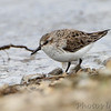 """Mudflats: Sandpipers: <span style=""""color:#fff; background:#333;"""">Semipalmated Sandpiper</span>  <br> Confluence Road <br> Just outside Riverlands Migratory Bird Sanctuary <br> St. Charles County, Missouri <br> <a href=""""/Birds/2010-Birding/Birding-2010-May/2010-05-08-RMBS/i-XVRgKnB"""">2010-05-08</a> <br><br> My 1st Missouri photo, species #211 <br> 2008-08-28 10:08:11 <br><div class=""""noshow""""> See #211 in photo gallery  <a href=""""/Birds/2008-Birding/Birding-2008-August/2008-08-28-Hwy-79-Corridor/i-4zQXw4f""""> here</a> </div>"""