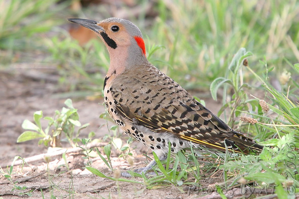 """Woodpeckers: <span style=""""color:#fff; background:#333;"""">Northern Flicker </span> <br> Forest Park St. Louis, Missouri <br> <a href=""""/Birds/2006-Birding/Birding-2006-July-August/2006-08-03-Forest-Park/i-kqPQfk5"""">2006-08-03</a> <br><br> My 1st Missouri photo, species #61 <br> 2006-03-18 16:09:08 <br><div class=""""noshow""""> See #61 in photo gallery  <a href=""""/Birds/2006-Birding/Birding-2006-March/2006-03-18-Seeberger-Church/i-gMw7ZCc""""> here</a> </div>"""