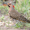 "Woodpeckers: <span style=""color:#fff; background:#333;"">Northern Flicker </span> <br> Forest Park St. Louis, Missouri <br> <a href=""/Birds/2006-Birding/Birding-2006-July-August/2006-08-03-Forest-Park/i-kqPQfk5"">2006-08-03</a> <br><br> My 1st Missouri photo, species #61 <br> 2006-03-18 16:09:08 <br><div class=""noshow""> See #61 in photo gallery  <a href=""/Birds/2006-Birding/Birding-2006-March/2006-03-18-Seeberger-Church/i-gMw7ZCc""> here</a> </div>"