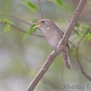 "Wrens: <span style=""color:#fff; background:#333;"">House Wren </span> <br> Cuba, Missouri <br> <a href=""/Birds/2007-Birding/Birding-2007-April/2007-04-28-Birding-Cuba-Mo/i-3VcSTjc"">2007-04-28</a> <br><br> My 1st Missouri photo, species #119 <br> 2006-06-05 18:33:20 <br><div class=""noshow"">  See #119 in photo gallery  <a href=""/Birds/2006-Birding/Birding-2006-June/2006-06-05-Darst-Bottom-Road/i-SzQ5wtT""> here</a> </div>"