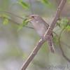 "Wrens: <span style=""color:#fff; background:#333;"">House Wren </span> <br> Cuba, Missouri <br> <a href=""/Birds/2007-Birding/Birding-2007-April/2007-04-28-Birding-Cuba-Mo/i-3VcSTjc"">2007-04-28</a> <br><br> My 1st Missouri photo, species #119 <br> 2006-06-05 18:33:20 <br><div class=""noshow"">  See #119 in photo gallery  <a href=""/Birds/2006-Birding/Birding-2006-June/2006-06-05-Darst-Bottom-Road/i-SzQ5wtT""> here</a> </div>"