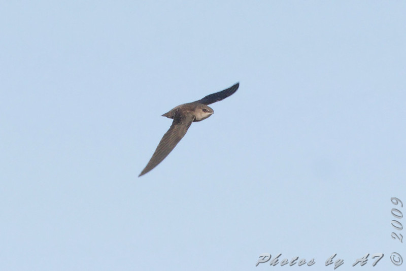 """Swallows: <span style=""""color:#fff; background:#333;"""">Chimney Swift </span> <br> Columbia Bottom Conversation Area <br> <a href=""""/Birds/2009-Birding/Birding-2009-October/2009-10-07-RMBS-Columbia-Bot/i-fNRLVN9"""">2009-10-07</a> <br><br> My 1st Missouri photo, species #268 <br> 2009-10-07 16:20:32 <br><div class=""""noshow"""">  See #268 in photo gallery  <a href=""""/Birds/2009-Birding/Birding-2009-October/2009-10-07-RMBS-Columbia-Bot/i-XWwjBdQ""""> here</a> </div>"""