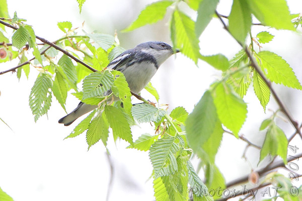"""Wood-Warblers: <span style=""""color:#fff; background:#333;"""">Cerulean Warbler </span> <br> Lost Valley Trail <br> Weldon Spring Conservation Area <br> <a href=""""/Birds/2014-Birding/Birding-2014-April/2014-04-26-Weldon-Spring-CA/i-pw8r7Jg"""">2014-04-26</a> <br><br> My 1st Missouri photo, species #256 <br> 2009-07-20 15:30:12 <br><div class=""""noshow"""">  See #256 in photo gallery  <a href=""""/Birds/2009-Birding/Birding-2009-July/2009-07-20-Lost-Valley-Trail/i-JjsDCg6""""> here</a> </div>"""