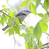 "Wood-Warblers: <span style=""color:#fff; background:#333;"">Cerulean Warbler </span> <br><span class=""showLBtitle"">                                                                                         </span> Lost Valley Trail <br> Weldon Spring Conservation Area <br> St. Charles County, Missouri <br> <a href=""/Birds/2014-Birding/Birding-2014-April/2014-04-26-Weldon-Spring-CA/i-pw8r7Jg"">2014-04-26</a> <br> <br> My 1st Missouri photo, species #256 <br> 2009-07-20 15:30:12 <br> <div class=""noshow"">See #256 in photo gallery <a href=""/Birds/2009-Birding/Birding-2009-July/2009-07-20-Lost-Valley-Trail/i-JjsDCg6"">here</a></div>"