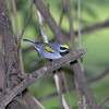 "Wood-Warblers: <span style=""color:#fff; background:#333;"">Golden-winged Warbler </span> <br><span class=""showLBtitle"">                                                                                         </span> Tower Grove Park <br> St. Louis, Missouri <br> <a href=""/Birds/2009-Birding/Birding-2009-May/2009-05-07-Tower-Grove-Park/i-kxR45w3"">2009-05-07</a> <br> <br> My 1st Missouri photo, species #243 <br> 2009-05-07 18:13:42 <br> <div class=""noshow"">See #243 in photo gallery <a href=""/Birds/2009-Birding/Birding-2009-May/2009-05-07-Tower-Grove-Park/i-9PSxGxP"">here</a></div>"
