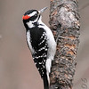 "Woodpeckers: <span style=""color:#fff; background:#333;"">Hairy Woodpecker</span> (Male)  <br> Warren County <br> <a href=""/Birds/2006-Birding/Birding-2006-December/2006-12-25-Birding-St-Charles/i-5TvVwDM"">2006-12-25</a> <br><br> My 1st Missouri photo, species #149 <br> 2006-11-18 15:51:13 <br><div class=""noshow""> See #149 in photo gallery  <a href=""/Birds/2006-Birding/Birding-2006-November/2006-11-161718-Creve-Coeur/i-6t32TXP""> here</a> </div>"