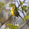 "Wood-Warblers: <span style=""color:#fff; background:#333;"">Prairie Warbler </span> <br><span class=""showLBtitle"">                                                                                         </span> Weldon Spring Conservation Area <br> St. Charles County, Missouri <br> <a href=""/Birds/2010-Birding/Birding-2010-April/2010-04-22-Weldon-Spring-CA/i-GnB66v2"">2010-04-22</a> <br> <br> My 1st Missouri photo, species #278 <br> 2010-04-22 09:10:19 <br> <div class=""noshow"">See #278 in photo gallery <a href=""/Birds/2010-Birding/Birding-2010-April/2010-04-22-Weldon-Spring-CA/i-2qzJKjm"">here</a></div>"