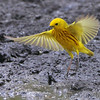 "Wood-Warblers: <span style=""color:#fff; background:#333;"">Yellow Warbler </span> <br> Columbia Bottom Conservation Area <br> <a href=""/Birds/2012-Birding/Birding-2012-May/2012-05-26-Columbia-Bottom-CA/i-FfsKPD6"">2012-05-26</a> <br><br> My 1st Missouri photo, species #98 <br> 2006-05-07 13:53:04 <br><div class=""noshow""> See #98 in photo gallery  <a href=""/Birds/2006-Birding/Birding-2006-May/2006-05-07-Creve-Coeur-Marsh/i-GDkxnxW""> here</a> </div>"