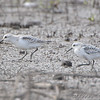 """Mudflats: Sandpipers: <span style=""""color:#fff; background:#333;"""">Sanderlings</span>  <br> B.K. Leach Memorial Conservation Area <br> Lincoln County, Missouri <br> <a href=""""/Birds/2008-Birding/Birding-2008-October/2008-10-20-BKLeach/i-CgfHQ9B"""">2008-10-20</a> <br><br> My 1st Missouri photo, species #217 <br> 2008-10-20 12:02:38 <br><div class=""""noshow"""">  See #217 in photo gallery  <a href=""""/Birds/2008-Birding/Birding-2008-October/2008-10-20-BKLeach/i-w5XxbmW""""> here</a> </div>"""