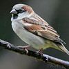 "Sparrows: <span style=""color:#fff; background:#333;"">House Sparrow </span> <br><span class=""showLBtitle"">                                                                                         </span> City of Bridgeton <br> St. Louis County, Missouri <br> <a href=""/Birds/2006-Birding/Birding-2006-October/2006-10-Yardbirds/i-w5CWvNr"">2006-10-25</a> <br> <br> My 1st Missouri photo, species #17 <br> 2004-10-24 <br> <div class=""noshow"">See #17 in photo gallery <a href=""/Birds/Misc-Birds/i-kS4M3D3"">here</a></div>"