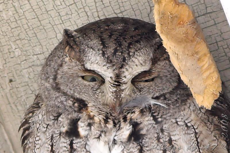 "Owls: <span style=""color:#fff; background:#333;"">Eastern Screech Owl </span> <br><span class=""showLBtitle"">                                             </span> (left over lunch?) <br> Sugar Creek Nursery <br> City of Kirkwood <br> St. Louis County, Missouri <br> <a href=""/Birds/2008-Birding/Birding-2008-December/2008-12-04-Screech-Owl-Allens/i-KKqfstZ"">2008-12-04</a> <br> <br> My 1st Missouri photo, species #223 <br> 2008-12-04 14:15:57 <br> <div class=""noshow"">See #223 in photo gallery <a href=""/Birds/2008-Birding/Birding-2008-December/2008-12-04-Screech-Owl-Allens/i-KKqfstZ"">here</a></div>"