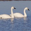 "Swans: <span style=""color:#fff; background:#333;"">Tundra Swans </span> <br><span class=""showLBtitle"">                                                                                         </span> Lower Ellis Bay <br> Riverlands Migratory Bird Sanctuary <br> St. Charles County, Missouri <br> <a href=""/Birds/2018-Birding/Birding-2018-November/2018-11-21-Riverlands-Migratory-Bird-Sanctuary/i-kSD7nqR"">2018-11-21</a> <br> <br> My 1st Missouri photo, species #220 <br> 2008-11-10 14:57:14 <br> <div class=""noshow"">See #220 in photo gallery <a href=""/Birds/2008-Birding/Birding-2008-November/2008-11-10-Riverlands/i-zmGB7ZC"">here</a></div>"
