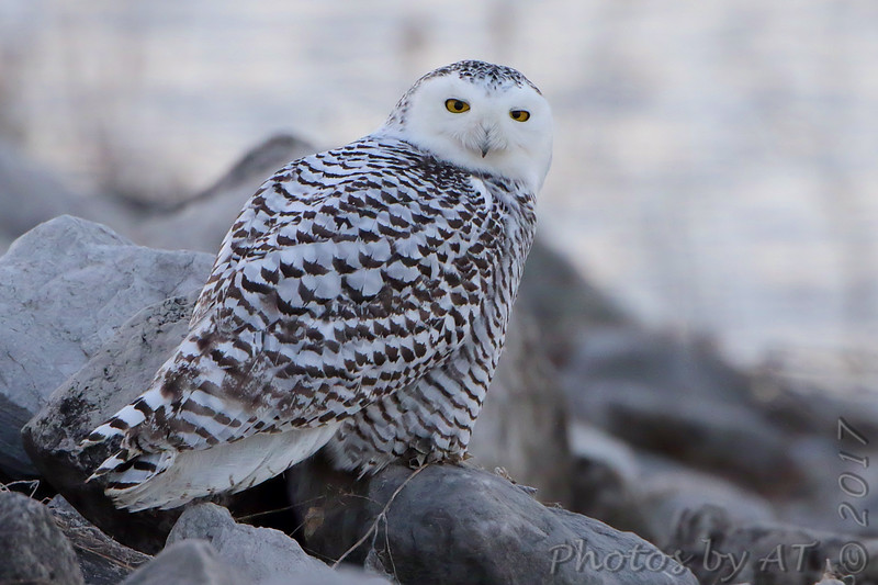 """Owls: <span style=""""color:#fff; background:#333;"""">Snowy Owl</span> <br> Riprap along Ellis Bay just east of Heron Pond <br> Riverlands Migratory Bird Sanctuary <br> St. Charles County, Missouri <br> <a href=""""/Birds/2017-Birding/Birding-2017-December/2017-12-15-Rockwoods-and-RMBS/i-P3rgCrZ"""">2017-12-15</a> <br><br> My 1st Missouri photo, species #311 <br> 2011-12-06 10:31:09 <br><div class=""""noshow""""> See #311 in photo gallery  <a href=""""/Birds/2011-Birding/Birding-2011-December/2011-12-06-SV-LAKE-SCNWR/i-w6QnnFq""""> here</a> </div>"""