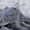 "Owls: <span style=""color:#fff; background:#333;"">Snowy Owl</span> <br> Riprap along Ellis Bay just east of Heron Pond <br> Riverlands Migratory Bird Sanctuary <br> St. Charles County, Missouri <br> <a href=""/Birds/2017-Birding/Birding-2017-December/2017-12-15-Rockwoods-and-RMBS/i-P3rgCrZ"">2017-12-15</a> <br><br> My 1st Missouri photo, species #311 <br> 2011-12-06 10:31:09 <br><div class=""noshow""> See #311 in photo gallery  <a href=""/Birds/2011-Birding/Birding-2011-December/2011-12-06-SV-LAKE-SCNWR/i-w6QnnFq""> here</a> </div>"