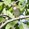 "Vireos: <span style=""color:#fff; background:#333;"">Red-eyed Vireo </span> <br><span class=""showLBtitle"">                                                                                         </span> Busch Wildlife Conservation Area <br> St. Charles County, Missouri <br> <a href=""/Birds/2006-Birding/Birding-2006-September/2006-09-14-Busch-Wildlife/i-P3DXxrh"">2006-09-14</a> <br> <br> My 1st Missouri photo, species #107 <br> 2006-05-21 14:46:21 <br> <div class=""noshow"">See #107 in photo gallery <a href=""/Birds/2006-Birding/Birding-2006-May/2006-05-21-St-Stanislaus/i-rncMWPB"">here</a></div>"