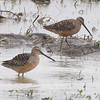 "Mudflats: Dowitchers: <span style=""color:#fff; background:#333;"">Long-billed Dowitchers</span>   <br> Crocket Road near Muskrat Lake <br> St. Joseph area <br> <a href=""/Birds/2009-Birding/Birding-2009-April/2009-04-29-St-Joseph-Missouri/i-TFMn8fd"">2009-04-29</a> <br><br> My 1st Missouri photo, species #215 <br> 2008-10-13 15:02:42 <br><div class=""noshow""> See #215 in photo gallery  <a href=""/Birds/2008-Birding/Birding-2008-October/2008-10-13-Missouri-Bottom/i-Lq9XQt5""> here</a> </div>"