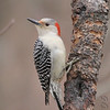 """Woodpeckers: <span style=""""color:#fff; background:#333;"""">Red-bellied Woodpecker</span> (Female)  <br> Warren County <br> <a href=""""/Birds/2006-Birding/Birding-2006-December/2006-12-25-Birding-St-Charles/i-hk9nS9P"""">2006-12-25</a> <br><br> My 1st Missouri photo, species #51 <br> 2004-07-10 08:53:07 <br><div class=""""noshow""""> See #51 in photo gallery  <a href=""""/Birds/Woodpeckers/i-3DkpdN2""""> here</a> </div>"""