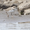 "Mudflats: Plovers: <span style=""color:#fff; background:#333;"">Wilson's Plover</span>  <br> Ellis Bay <br> Riverlands Migratory Bird Sanctuary <br> <a href=""/Birds/2014-Birding/Birding-2014-May/2014-05-04-Wilsons-Plover/i-JkqkGFJ"">2014-05-04</a> <br><br> My 1st Missouri photo, species #333 <br> 2014-05-04 15:52:31 <br><span style=""color:#fff"">*** Pending 2nd State Record ***</span> <br><div class=""noshow"">  See #333 in photo gallery  <a href=""/Birds/2014-Birding/Birding-2014-May/2014-05-04-Wilsons-Plover/i-nKWWsdN""> here</a> </div>"