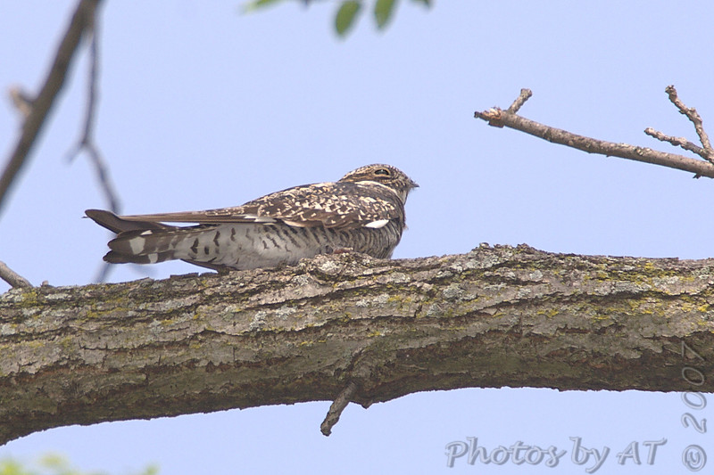 "Nightjars: <span style=""color:#fff; background:#333;"">Common Nighthawk</span>  <br> Freebourn Park <br> Bridgeton  <br> <a href=""/Birds/2007-Birding/Birding-2007-May/2007-05-05-Birds-in-Bridgeton/i-TjHSnp8"">2007-05-05</a> <br><br> My 1st Missouri photo, species #124 <br> 2006-08-14 17:54:10 <br><div class=""noshow""> See #124 in photo gallery  <a href=""/Birds/2006-Birding/Birding-2006-July-August/2006-08-14-St-Stanislaus-CA/i-3JJFMxz""> Here</a> </div>"
