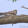 "Nightjars: <span style=""color:#fff; background:#333;"">Common Nighthawk</span>  <br><span class=""showLBtitle"">                                                                                         </span> Freebourn Park <br> City of Bridgeton  <br> St. Louis County, Missouri <br> <a href=""/Birds/2007-Birding/Birding-2007-May/2007-05-05-Birds-in-Bridgeton/i-TjHSnp8"">2007-05-05</a> <br> <br> My 1st Missouri photo, species #124 <br> 2006-08-14 17:54:10 <br> <div class=""noshow"">See #124 in photo gallery <a href=""/Birds/2006-Birding/Birding-2006-July-August/2006-08-14-St-Stanislaus-CA/i-3JJFMxz"">Here</a></div>"