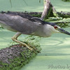 "Marsh Birds: Herons: <span style=""color:#fff; background:#333;"">Black-crowned Night-Heron</span>   <br> Columbia Bottom Conservation Area <br> <a href=""/Birds/2010-Birding/Birding-2010-July/2010-07-21-Misc-Areas/i-f5zdBfS"">2010-07-21</a> <br><br> My 1st Missouri photo, species #10 <br> 2004-06-06 14:01:30 <br><div class=""noshow"">  See #10 in photo gallery  <a href=""/Birds/Shore-Birds/i-TqnZGs4""> here</a> </div>"