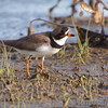 "Mudflats: Plovers: <span style=""color:#fff; background:#333;"">Semipalmated Plover</span>  <br> Firma and Dalbow Roads <br> St. Charles County <br> <a href=""/Birds/2010-Birding/Birding-2010-May/2010-05-14-Hwy-79-Corridor/i-VPrkXwV"">2010-05-14</a> <br><br> My 1st Missouri photo, species #197 <br> 2008-08-03 15:22:26 <br><div class=""noshow""> See #197 in photo gallery  <a href=""/Birds/2008-Birding/Birding-2008-August/2008-08-03-Hwy-79-Corridor/i-9jtKRGg""> here</a> </div>"