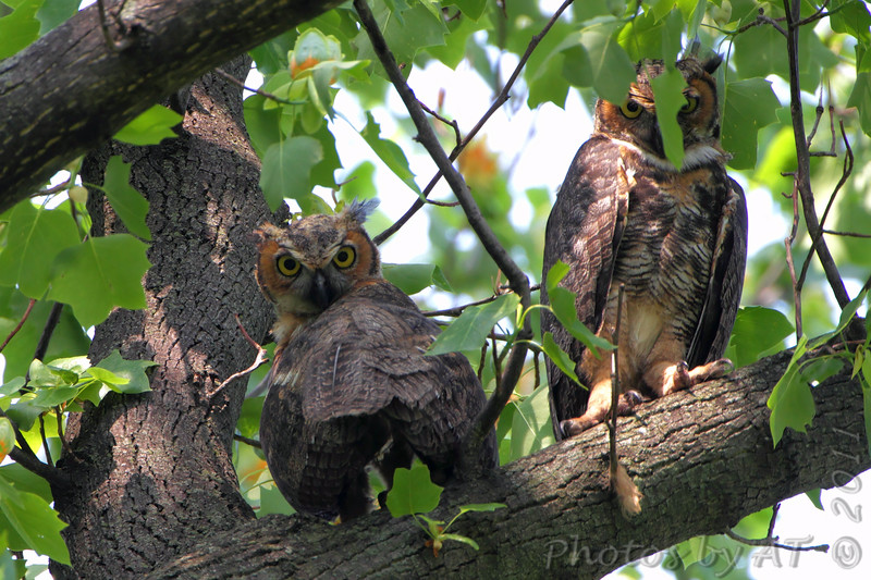 """Owls: <span style=""""color:#fff; background:#333;"""">Great Horned Owls </span> <br> Tower Grove Park <br> <a href=""""/Birds/2011-Birding/Birding-2011-May/2011-05-11-Tower-Grove-Park/i-Sd2d9V3"""">2011-05-11</a> <br><br> My 1st Missouri photo, species #177 <br> 2007-07-01 20:02:47 <br><div class=""""noshow""""> See #177 in photo gallery  <a href=""""/Birds/2007-Birding/Birding-2007-June-July/2007-07-010213-Bridgeton/i-N2bD5Zr""""> here</a> </div>"""