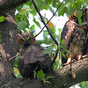 "Owls: <span style=""color:#fff; background:#333;"">Great Horned Owls </span> <br> Tower Grove Park <br> <a href=""/Birds/2011-Birding/Birding-2011-May/2011-05-11-Tower-Grove-Park/i-Sd2d9V3"">2011-05-11</a> <br><br> My 1st Missouri photo, species #177 <br> 2007-07-01 20:02:47 <br><div class=""noshow""> See #177 in photo gallery  <a href=""/Birds/2007-Birding/Birding-2007-June-July/2007-07-010213-Bridgeton/i-N2bD5Zr""> here</a> </div>"
