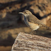 """Wrens: <span style=""""color:#fff; background:#333;"""">Rock Wren </span> <br> <span style=""""color:#fff"""">***  14th state record  ***</span> <br> Maple Island Road <br> Riverlands Migratory Bird Sanctuary <br> <a href=""""/Birds/2016-Birding/Birding-2016-January/2016-01-29-RMBS-Rock-Wren/i-hZ5XBd8"""">2016-01-29</a> <br><br> My 1st Missouri photo, species #342 <br> <span style=""""color:#fff"""">***  9th state record  ***</span> <br> 2015-11-10 12:39:56 <br><div class=""""noshow""""> See #342 in photo gallery  <a href=""""/Birds/2015-Birding/Birding-2015-November/2015-11-10-Rock-Wren/i-CFq3kxn""""> here</a> </div>"""