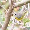"Wood-Warblers: <span style=""color:#fff; background:#333;"">Nashville Warbler</span> (Female)  <br> Unger Park St. Louis County <br> <a href=""/Birds/2006-Birding/Birding-2006-September/2006-09-262728-Unger-Park-St/i-m46sQMP"">2006-09-27</a> <br><br> My 1st Missouri photo, species #134 <br> 2006-09-27 16:14:17 <br><div class=""noshow""> See #134 in photo gallery  <a href=""/Birds/2006-Birding/Birding-2006-September/2006-09-262728-Unger-Park-St/i-qHSNdd3""> here</a> </div>"