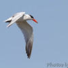 "Terns: <span style=""color:#fff; background:#333;"">Caspian Tern </span> <br> Cora Island Road (East side) <br> St. Charles County, Missouri <br> <a href=""/Birds/2015-Birding/Birding-2015-August/2015-08-02-Cora-Island-Road/i-pxZXmGR"">2015-08-02</a> <br><br> My 1st Missouri photo, species #203 <br> 2008-08-12 18:46:18 <br><div class=""noshow"">  See #203 in photo gallery  <a href=""/Birds/2008-Birding/Birding-2008-August/2008-08-12-Hwy-79-Corridor/i-krF8xVX""> here</a> </div>"