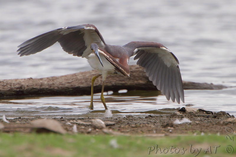 """Marsh Birds: Herons: <span style=""""color:#fff; background:#333;"""">Tricolored Heron</span>  <br><span class=""""showLBtitle"""">                                             </span> Lake 33 <br> Busch Wildlife Conservation Area <br> St. Charles County, Missouri <br> <a href=""""/Birds/2012-Birding/Birding-2012-August/2012-08-02-Tricolered-Heron/i-LSfFZqr"""">2012-08-02</a> <br> <br> My 1st Missouri photo, species #307 <br> 2011-07-30 16:58:10 <br> <div class=""""noshow"""">See #307 in photo gallery <a href=""""/Birds/2011-Birding/Birding-2011-July/2011-07-30-RMBS/i-RQ9XTR5"""">here</a></div>"""