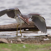 "Marsh Birds: Herons: <span style=""color:#fff; background:#333;"">Tricolored Heron</span>  <br> Lake 33 <br> Busch Wildlife Conservation Area <br> <a href=""/Birds/2012-Birding/Birding-2012-August/2012-08-02-Tricolered-Heron/i-LSfFZqr"">2012-08-02</a> <br><br> My 1st Missouri photo, species #307 <br> 2011-07-30 16:58:10 <br><div class=""noshow"">  See #307 in photo gallery  <a href=""/Birds/2011-Birding/Birding-2011-July/2011-07-30-RMBS/i-RQ9XTR5""> here</a> </div>"