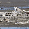 "Mudflats: Plovers: <span style=""color:#fff; background:#333;"">Snowy Plover</span>  <br> Eagle Bluffs Conservation Area <br> <a href=""/Birds/2015-Birding/Birding-2015-April/2015-04-30-Eagle-Bluffs-CA/i-X94PSBR"">2015-04-30</a> <br><br> My 1st Missouri photo, species #340 <br> 2015-04-30 15:19:56 <br><div class=""noshow"">  See #340 in photo gallery  <a href=""/Birds/2015-Birding/Birding-2015-April/2015-04-30-Eagle-Bluffs-CA/i-CXCs684""> here</a> </div>"
