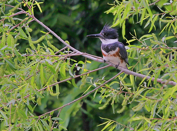 """Shorebirds: <span style=""""color:#fff; background:#333;"""">Belted Kingfisher</span> {Female}  <br> Creve Couer Lake <br> <a href=""""/Birds/2006-Birding/Birding-2006-May/2006-05-05-Creve-Coeur-Lake/i-LWBDrcK"""">2006-05-05</a> <br><br> My 1st Missouri photo, species #31 <br> 2005-08-24 15:26:07 <br><div class=""""noshow""""> See #31 in photo gallery  <a href=""""/Birds/Misc-Birds/i-9mmhHk6""""> here</a> </div>"""