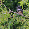 "Shorebirds: <span style=""color:#fff; background:#333;"">Belted Kingfisher</span> {Female}  <br> Creve Couer Lake <br> <a href=""/Birds/2006-Birding/Birding-2006-May/2006-05-05-Creve-Coeur-Lake/i-LWBDrcK"">2006-05-05</a> <br><br> My 1st Missouri photo, species #31 <br> 2005-08-24 15:26:07 <br><div class=""noshow""> See #31 in photo gallery  <a href=""/Birds/Misc-Birds/i-9mmhHk6""> here</a> </div>"