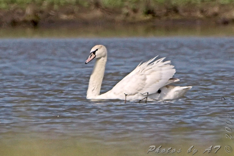 "Swans: <span style=""color:#fff; background:#333;"">Mute Swan </span> <br><span class=""showLBtitle"">                                             </span> B.K. Leach Conservation Area  <br> Lincoln County, Missouri <br> <a href=""/Birds/2009-Birding/Birding-2009-April/2009-04-22-BK-Leach-CA/i-2Xsbq9Q"">2009-04-22</a> <br> <br> My 1st Missouri photo, species #237 <br> 2009-04-22 10:29:31 <br> <div class=""noshow"">See #237 in photo gallery <a href=""/Birds/2009-Birding/Birding-2009-April/2009-04-22-BK-Leach-CA/i-gzMcw8Z"">here</a></div>"