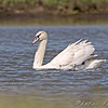"Swans: <span style=""color:#fff; background:#333;"">Mute Swan </span> <br> B.K. Leach Conservation Area  <br> <a href=""/Birds/2009-Birding/Birding-2009-April/2009-04-22-BK-Leach-CA/i-2Xsbq9Q"">2009-04-22</a> <br><br> My 1st Missouri photo, species #237 <br> 2009-04-22 10:29:31 <br><div class=""noshow"">  See #237 in photo gallery  <a href=""/Birds/2009-Birding/Birding-2009-April/2009-04-22-BK-Leach-CA/i-gzMcw8Z""> here</a> </div>"