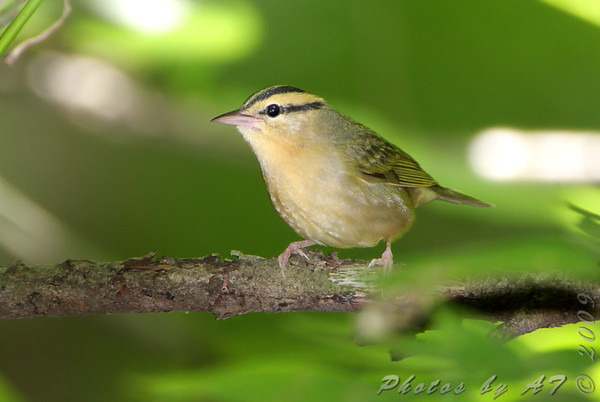 """Wood-Warblers: <span style=""""color:#fff; background:#333;"""">Worm-eating Warbler </span> <br> Lost Valley Trail <br> Weldon Spring Conservation Area <br> <a href=""""/Birds/2009-Birding/Birding-2009-July/2009-07-20-Lost-Valley-Trail/i-hTS2tqm"""">2009-07-20</a> <br><br> My 1st Missouri photo, species #257 <br> 2009-07-20 12:17:50 <br><div class=""""noshow"""">  See #257 in photo gallery  <a href=""""/Birds/2009-Birding/Birding-2009-July/2009-07-20-Lost-Valley-Trail/i-hTS2tqm""""> here</a> </div>"""