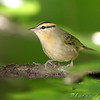"Wood-Warblers: <span style=""color:#fff; background:#333;"">Worm-eating Warbler </span> <br><span class=""showLBtitle"">                                                                                         </span> Lost Valley Trail <br> Weldon Spring Conservation Area <br> St. Charles County, Missouri <br> <a href=""/Birds/2009-Birding/Birding-2009-July/2009-07-20-Lost-Valley-Trail/i-hTS2tqm"">2009-07-20</a>  <br> <br> My 1st Missouri photo, species #257 <br> 2009-07-20 12:17:50 <br> <div class=""noshow"">See #257 in photo gallery <a href=""/Birds/2009-Birding/Birding-2009-July/2009-07-20-Lost-Valley-Trail/i-hTS2tqm"">here</a></div>"