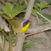 "Wood-Warblers: <span style=""color:#fff; background:#333;"">Common Yellowthroat</span> (Male)  <br><span class=""showLBtitle"">                                                                                         </span> Tower Grove Park <br> St. Louis, Missouri <br> <a href=""/Birds/2007-Birding/Birding-2007-May/2007-05-01-Tower-Grove-Park/i-3WKvp8S"">2007-05-01</a> <br> <br> My 1st Missouri photo, species #94 <br> 2006-05-06 16:57:42 <br> <div class=""noshow"">See #94 in photo gallery <a href=""/Birds/2006-Birding/Birding-2006-May/2006-05-06-Birding-St-Charles/i-dxn398b"">here</a></div>"