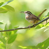 "Wrens: <span style=""color:#fff; background:#333;"">Carolina Wren </span> <br> St. Stanislaus CA <br> <a href=""/Birds/2006-Birding/Birding-2006-July-August/2006-08-Misc-Birds/i-HtqPf4c"">2006-08-05</a> <br><br> My 1st Missouri photo, species #55 <br> 2006-03-04 14:50:36 <br><div class=""noshow""> See #55 in photo gallery  <a href=""/Birds/Misc-Birds/i-QKZ8TfC""> here</a> </div>"