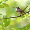 "Wrens: <span style=""color:#fff; background:#333;"">Carolina Wren </span> <br> St. Stanislaus CA <br> <a href=""/Birds/2006-Birding/Birding-2006-July-August/2006-08-Misc-Birds/i-HtqPf4c"">2006-08-05</a> <br><br> My 1st Missouri photo, species #55 <br> 2006-03-04 14:50:36 <br><div class=""noshow""> See #55 in photo gallery  <a href=""/Birds/Misc-Birds/i-QKZ8TfC""> here</a> </div>"